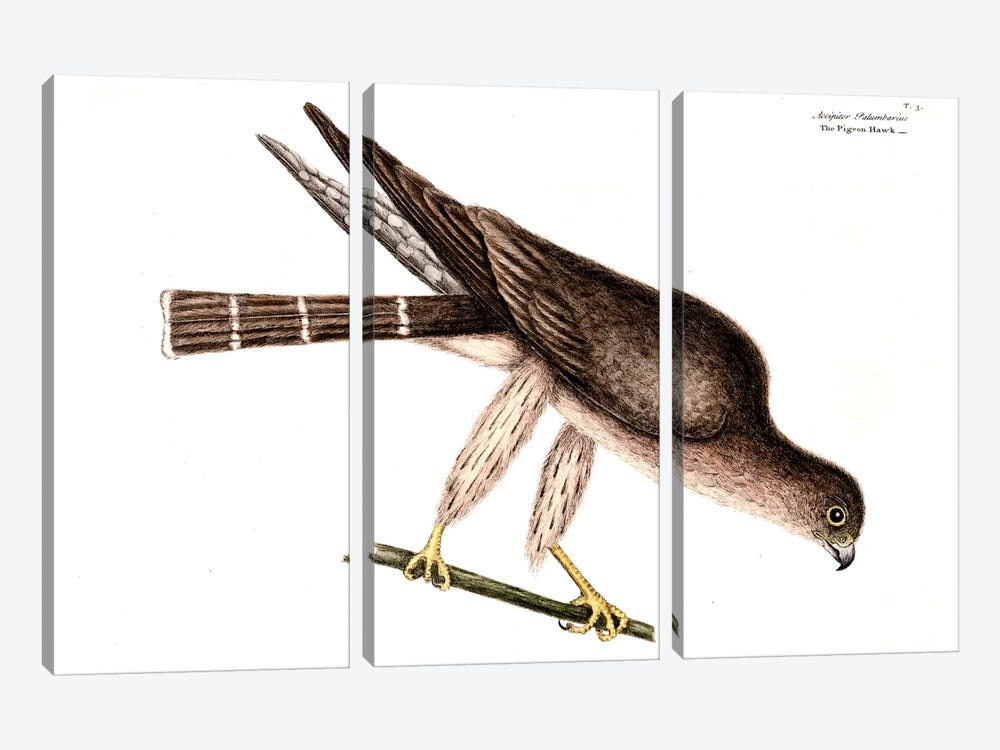 Pigeon Hawk by Mark Catesby 3-piece Canvas Print