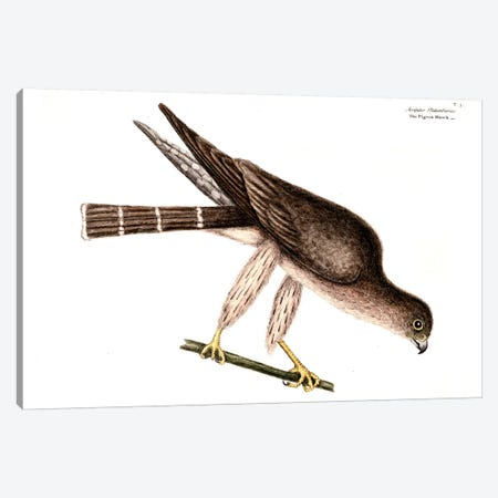 Pigeon Hawk Canvas Print #CAT127} by Mark Catesby Canvas Print