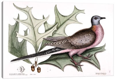Catesby's Natural History Series: Pigeon Of Passage (Passenger Pigeon) & Red Oak Canvas Print #CAT128