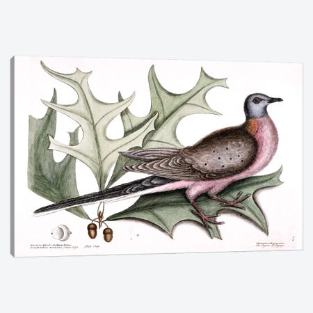 Pigeon Of Passage (Passenger Pigeon) & Red Oak Canvas Print #CAT128} by Mark Catesby Canvas Art
