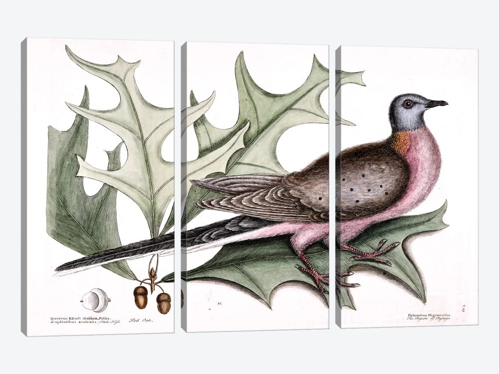 Pigeon Of Passage (Passenger Pigeon) & Red Oak by Mark Catesby 3-piece Canvas Artwork