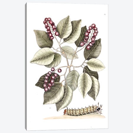 Pigeon Plum & Great Horned Caterpillar Canvas Print #CAT129} by Mark Catesby Canvas Artwork