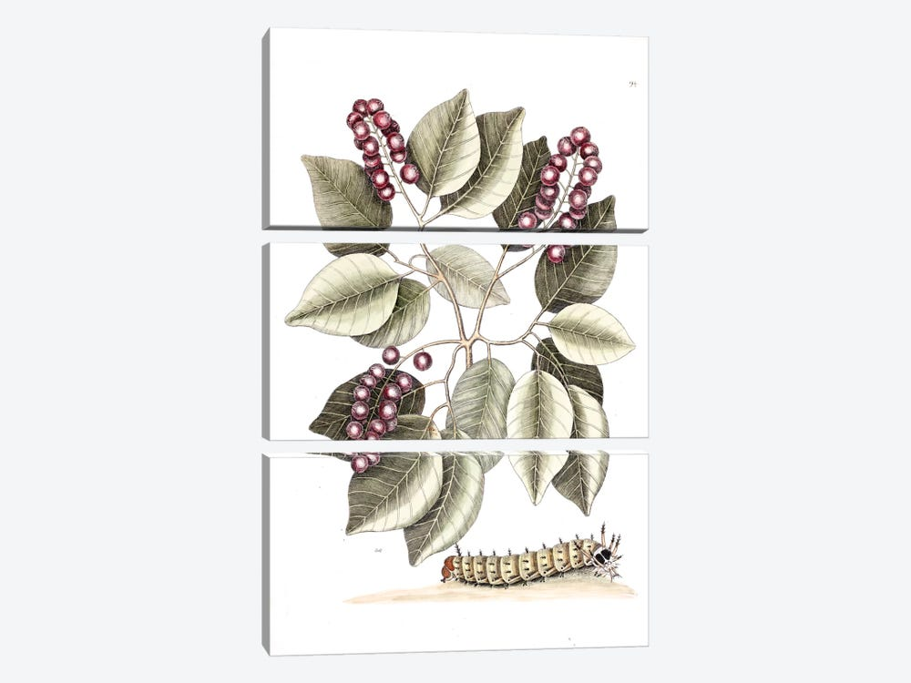 Pigeon Plum & Great Horned Caterpillar by Mark Catesby 3-piece Canvas Print