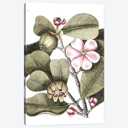 Balsam Tree Canvas Print #CAT12} by Mark Catesby Art Print