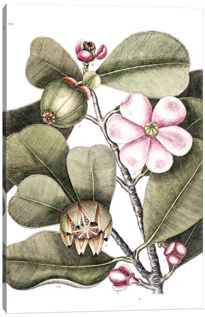 Balsam Tree Canvas Art Print