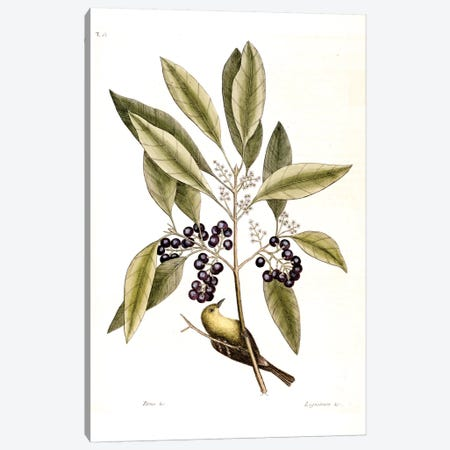 Pine Creeper & Purple-Berried Bay Canvas Print #CAT131} by Mark Catesby Canvas Print
