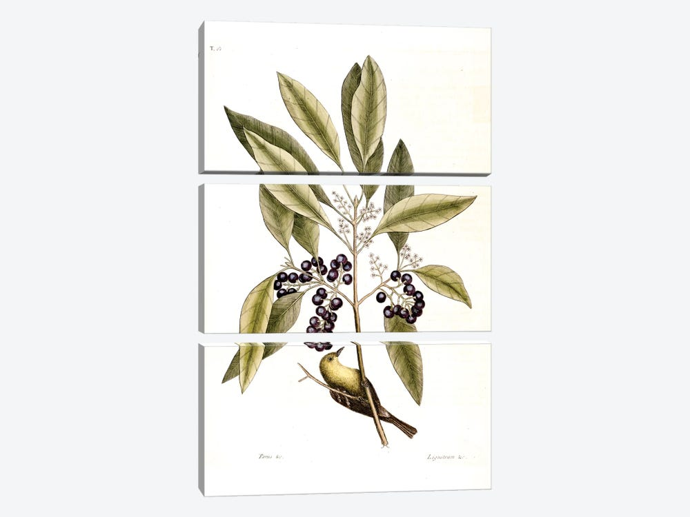 Pine Creeper & Purple-Berried Bay by Mark Catesby 3-piece Canvas Wall Art
