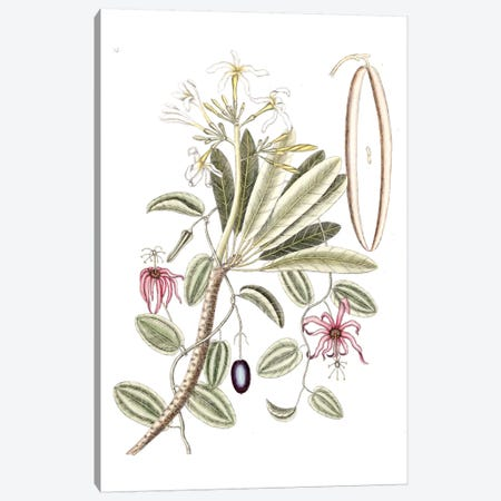 Plumeria Alba (White Frangipani) & Passion Flower Canvas Print #CAT132} by Mark Catesby Canvas Print
