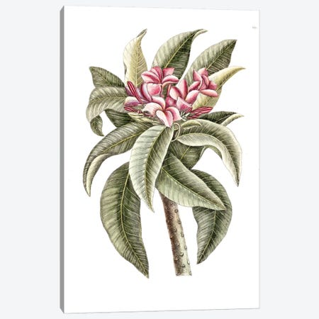 Plumeria Rubra (Frangipani) Canvas Print #CAT133} by Mark Catesby Art Print