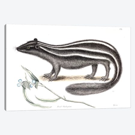 Pole Cat & Pseudo Phalangium Canvas Print #CAT134} by Mark Catesby Canvas Artwork