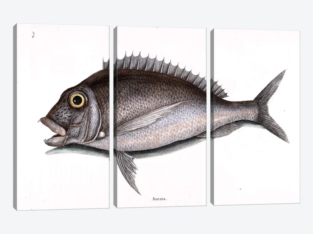 Porgy by Mark Catesby 3-piece Canvas Wall Art