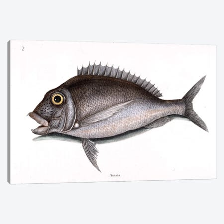 Porgy Canvas Print #CAT135} by Mark Catesby Canvas Art
