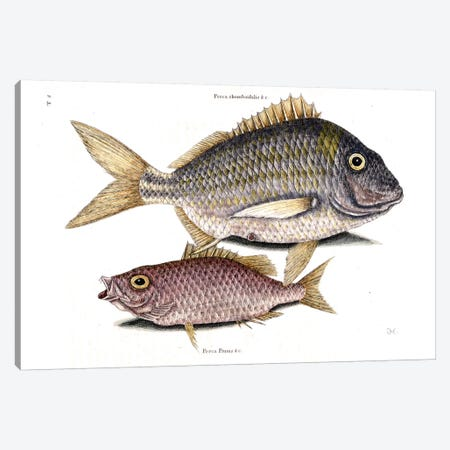 Pork Fish & Schoolmaster Snapper Canvas Print #CAT136} by Mark Catesby Canvas Art