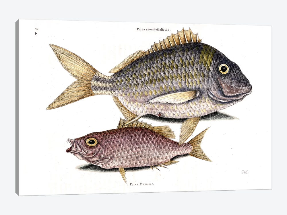 Pork Fish & Schoolmaster Snapper by Mark Catesby 1-piece Canvas Print