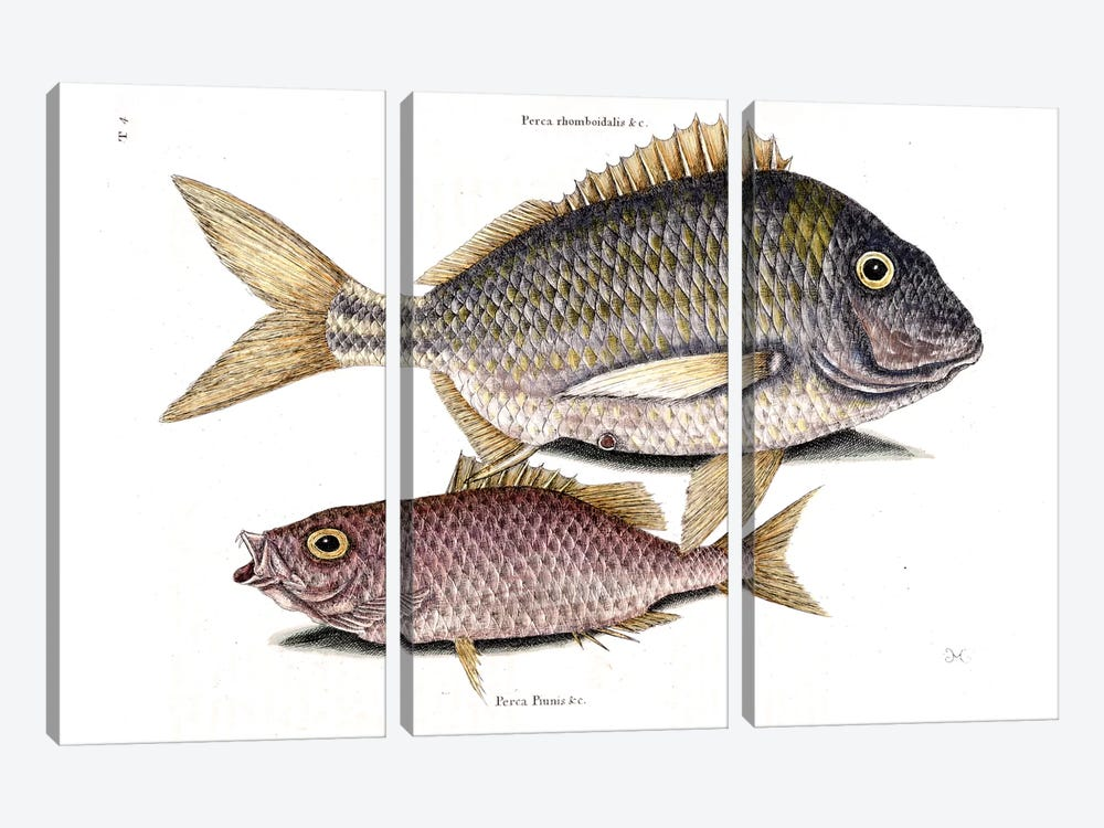 Pork Fish & Schoolmaster Snapper by Mark Catesby 3-piece Canvas Art Print