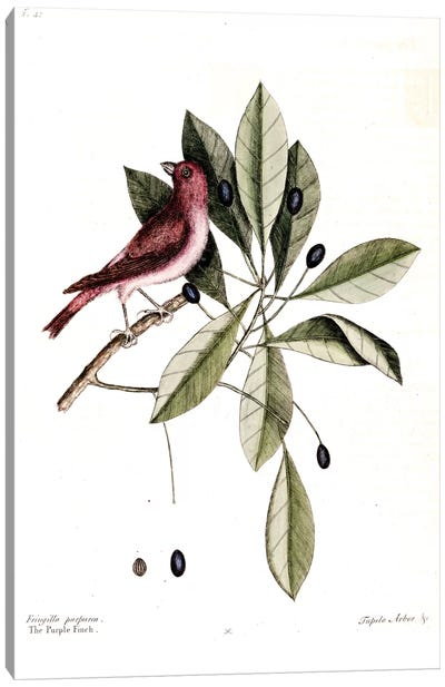 Purple Finch & Water Tupelo Canvas Art Print