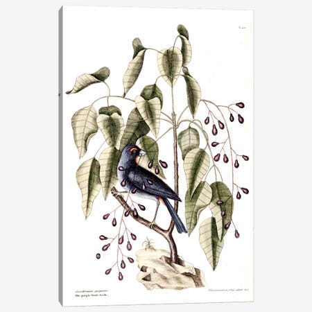 Purple Grosbeak & Poison Wood Canvas Print #CAT139} by Mark Catesby Canvas Print