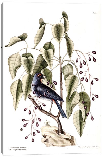 Catesby's Natural History Series: Purple Grosbeak & Poison Wood Canvas Print #CAT139