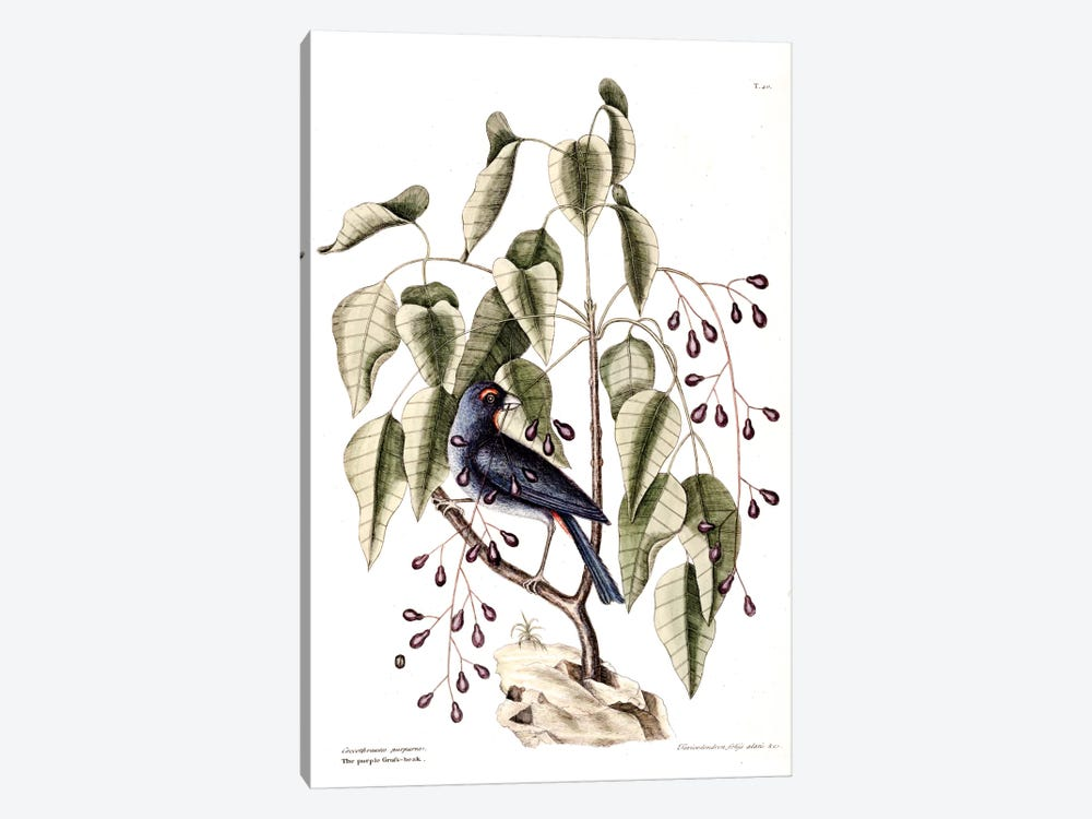 Purple Grosbeak & Poison Wood by Mark Catesby 1-piece Canvas Artwork