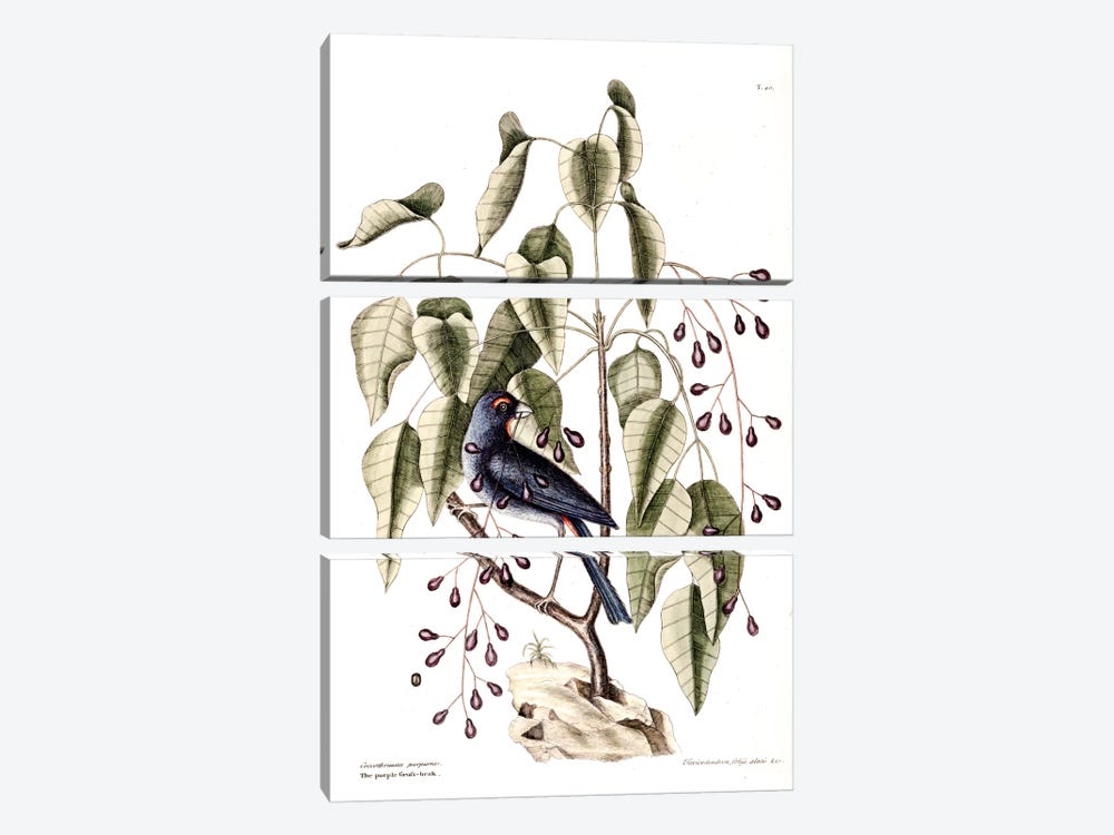 Purple Grosbeak & Poison Wood by Mark Catesby 3-piece Canvas Wall Art