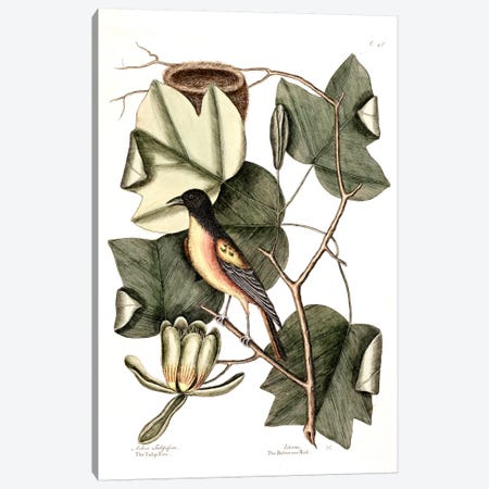 Baltimore Bird & Tulip Poplar Canvas Print #CAT13} by Mark Catesby Art Print