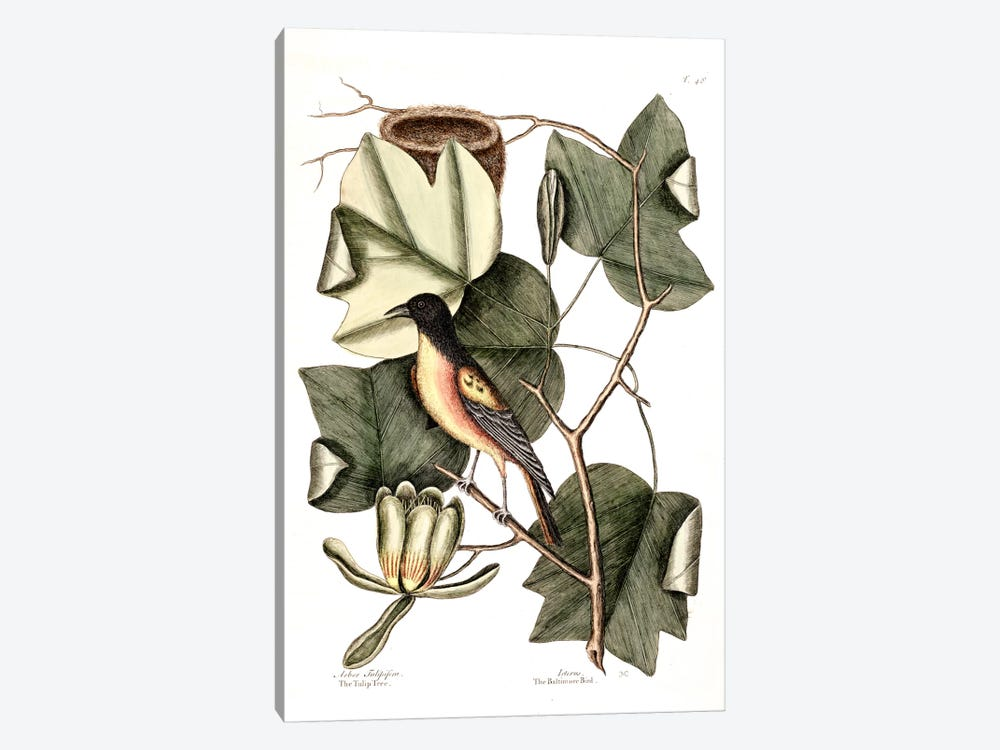 Baltimore Bird & Tulip Poplar by Mark Catesby 1-piece Canvas Print