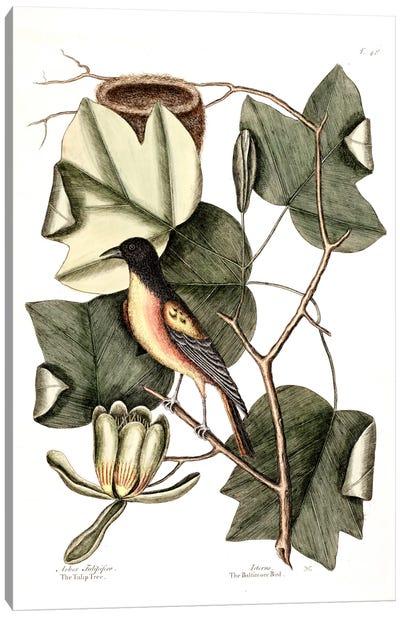 Baltimore Bird & Tulip Poplar Canvas Art Print