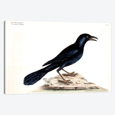 Purple Jackdaw Canvas Print #CAT140} by Mark Catesby Canvas Artwork