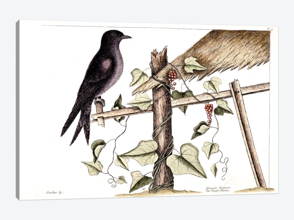Purple Martin & Cissampelos Smilacina by Mark Catesby 1-piece Canvas Art Print
