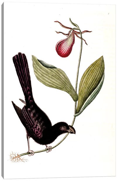 Catesby's Natural History Series: Razor-Billed Blackbird Of Jamaica & Lady's Slipper Orchid Canvas Print #CAT142