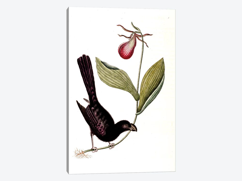 Razor-Billed Blackbird Of Jamaica & Lady's Slipper Orchid by Mark Catesby 1-piece Canvas Art