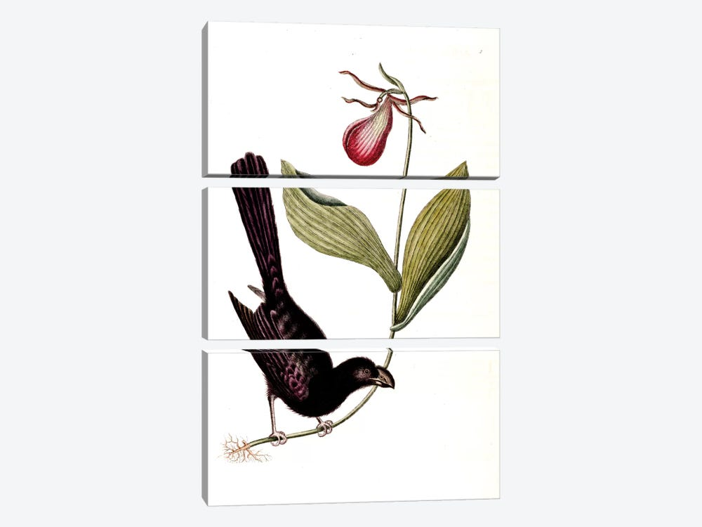 Razor-Billed Blackbird Of Jamaica & Lady's Slipper Orchid by Mark Catesby 3-piece Canvas Art