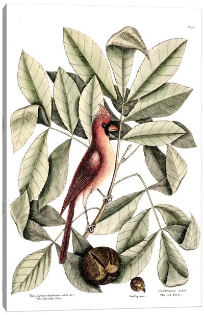 Catesby's Natural History Series: Red Bird (Northern Cardinal), Hickory Tree & Pig-Nut Canvas Print #CAT143