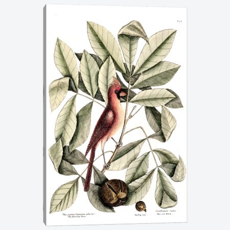 Red Bird (Northern Cardinal), Hickory Tree & Pig-Nut Canvas Print #CAT143} by Mark Catesby Canvas Art