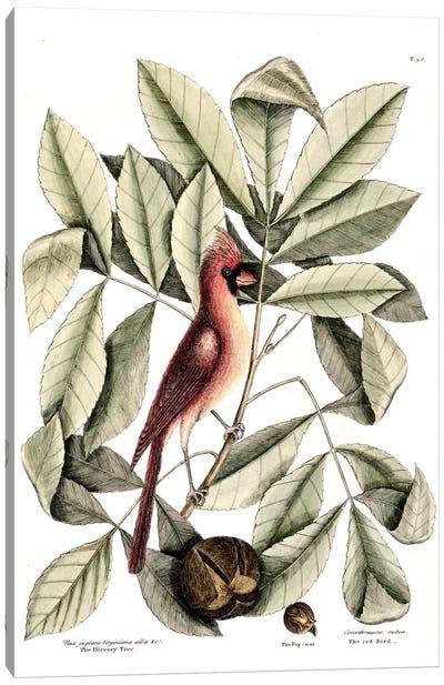 Red Bird (Northern Cardinal), Hickory Tree & Pig-Nut Canvas Art Print