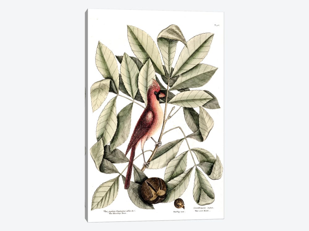 Red Bird (Northern Cardinal), Hickory Tree & Pig-Nut by Mark Catesby 1-piece Canvas Art Print