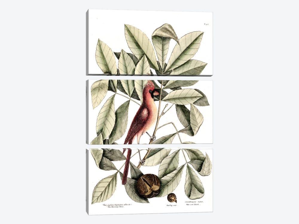 Red Bird (Northern Cardinal), Hickory Tree & Pig-Nut by Mark Catesby 3-piece Art Print