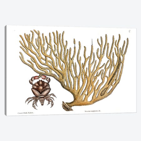 Red Clawed Crab & Titanokeratophyton Canvas Print #CAT144} by Mark Catesby Canvas Art Print
