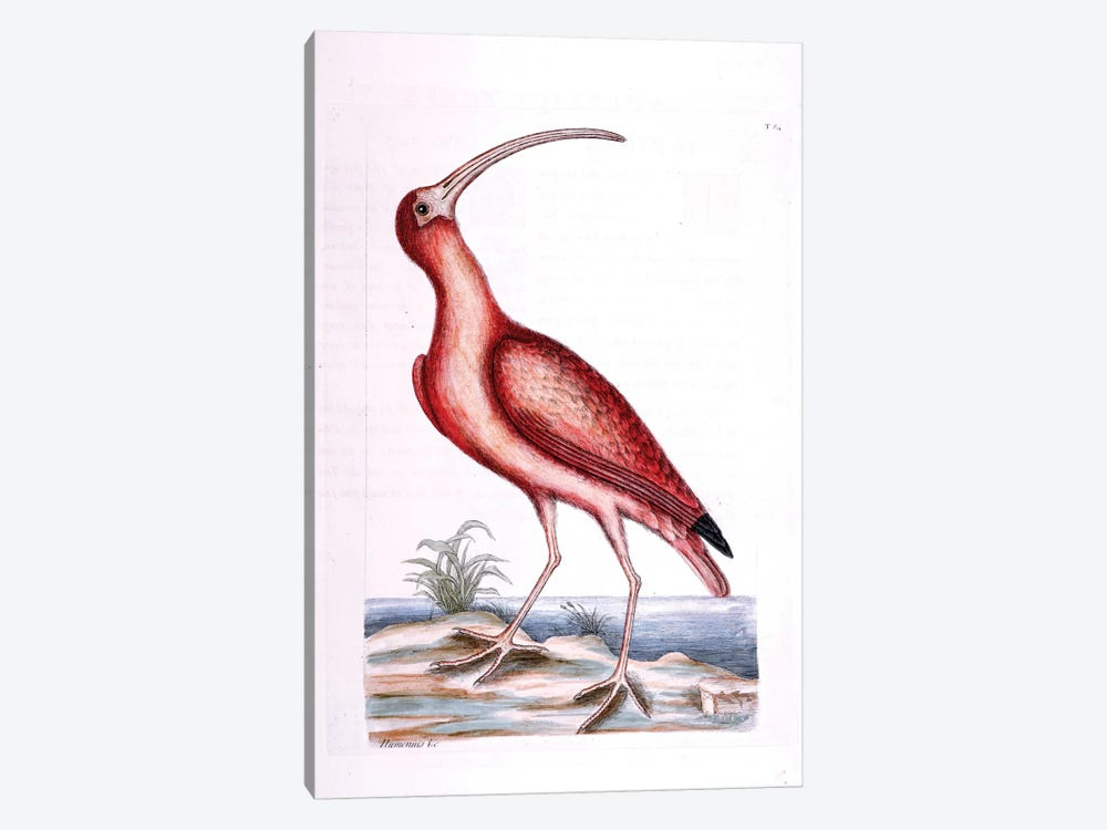 Red Curlew by Mark Catesby 1-piece Canvas Print