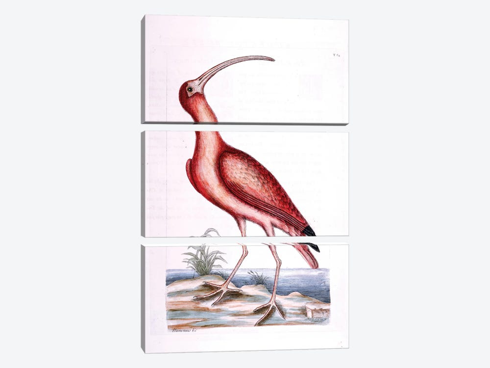 Red Curlew by Mark Catesby 3-piece Art Print