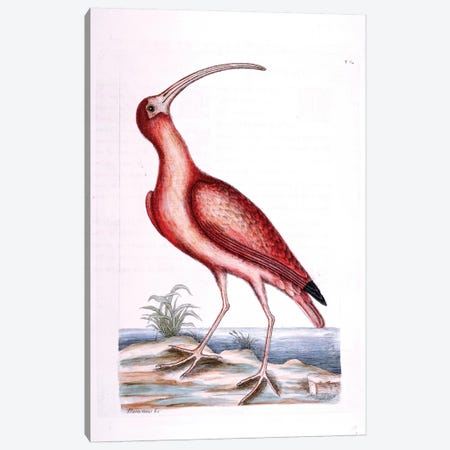 Red Curlew Canvas Print #CAT145} by Mark Catesby Canvas Art Print