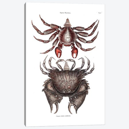 Red Mottled Rock Crab & Rough Shelled Crab Canvas Print #CAT146} by Mark Catesby Canvas Art Print