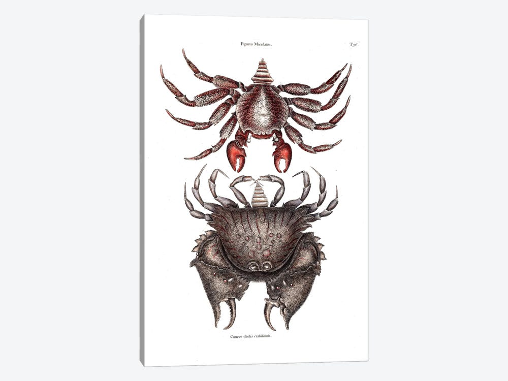 Red Mottled Rock Crab & Rough Shelled Crab by Mark Catesby 1-piece Canvas Artwork