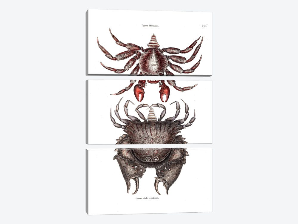 Red Mottled Rock Crab & Rough Shelled Crab by Mark Catesby 3-piece Canvas Art