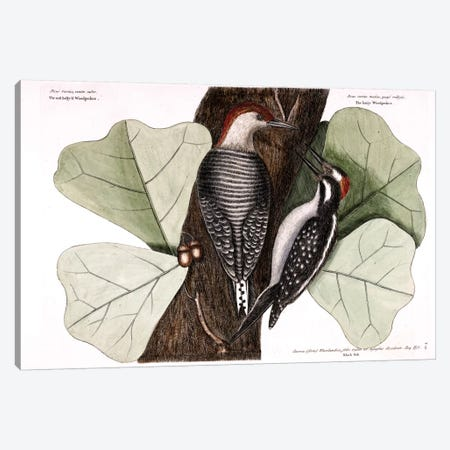 Red-Bellied Woodpecker, Hairy Woodpecker & Black Oak Canvas Print #CAT147} by Mark Catesby Art Print