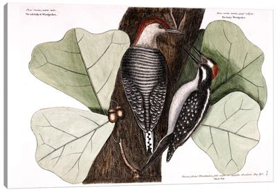 Catesby's Natural History Series: Red-Bellied Woodpecker, Hairy Woodpecker & Black Oak Canvas Print #CAT147