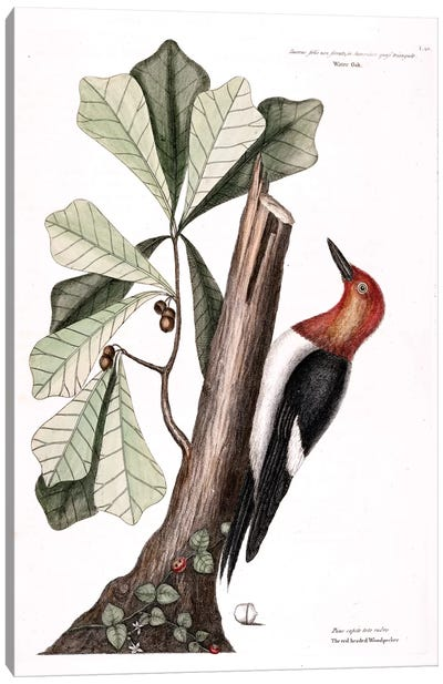 Catesby's Natural History Series: Red-Headed Woodpecker & Water Oak Canvas Print #CAT148