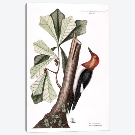 Red-Headed Woodpecker & Water Oak Canvas Print #CAT148} by Mark Catesby Canvas Artwork
