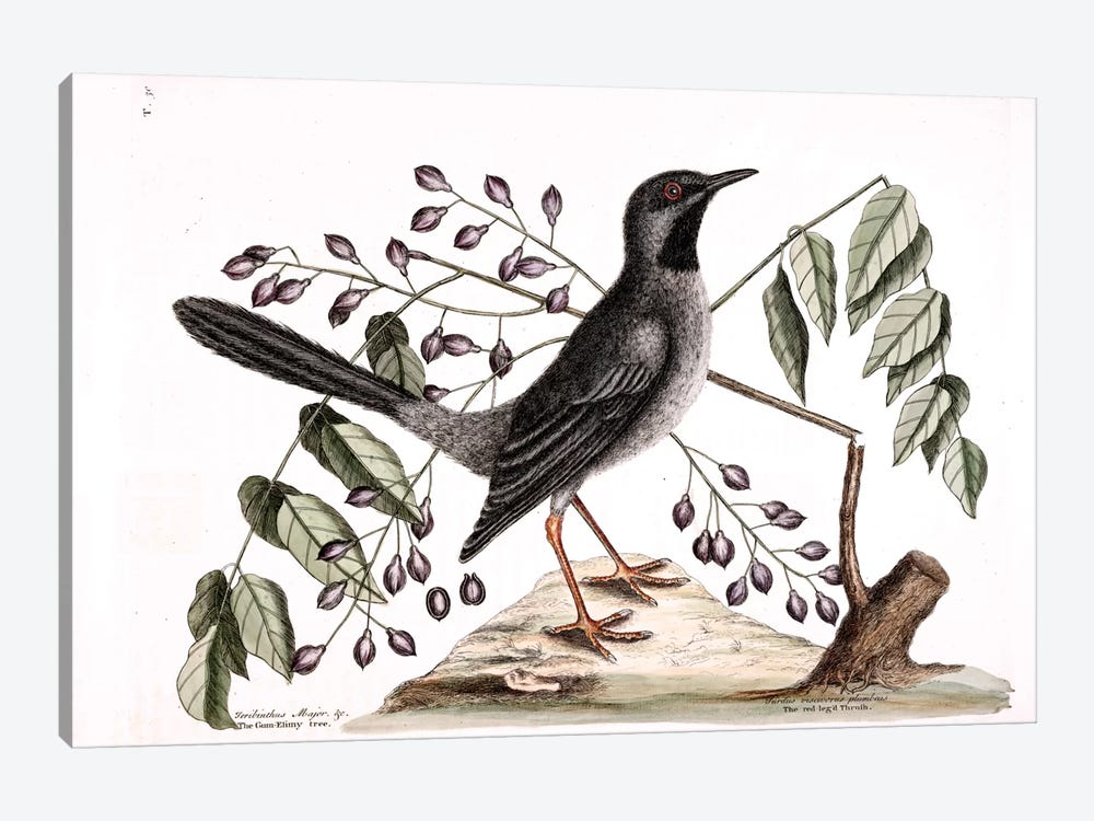 Red-Legged Thrush & Gum-Elimy Tree by Mark Catesby 1-piece Art Print