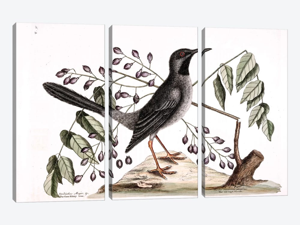 Red-Legged Thrush & Gum-Elimy Tree by Mark Catesby 3-piece Art Print